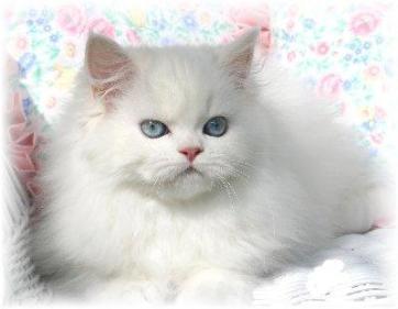 Kisah Kucing Kesayangan Nabi Saw Dan Keistimewaan Kucing Dalam Islam Jurnal Toddoppuli